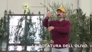 Potatura dell'olivo
