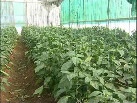 Capsicum Cultivation in Green House, English