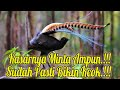 Masteran Burung Materi Kasar Lyrebird  Mp3 - Mp4 Download