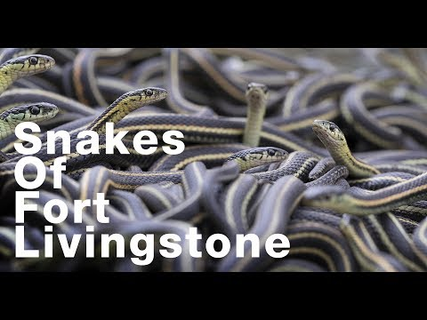 30,000 Snakes of Fort Livingstone