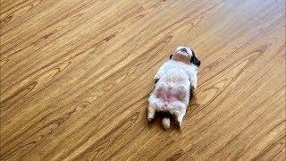 Фото этого щенка становится вирусным, из за его необычного положения для сна!