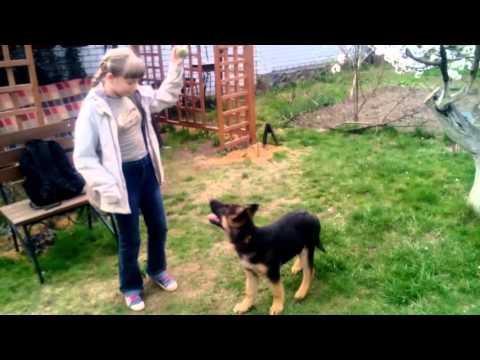 Один день из жизнь немецкой овчарки Ирбис + мини видеоклип!!!!!