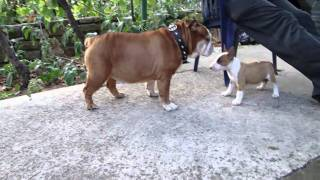 "Puppy Bull Terrier ""bakh"" Attack English Bulldog"