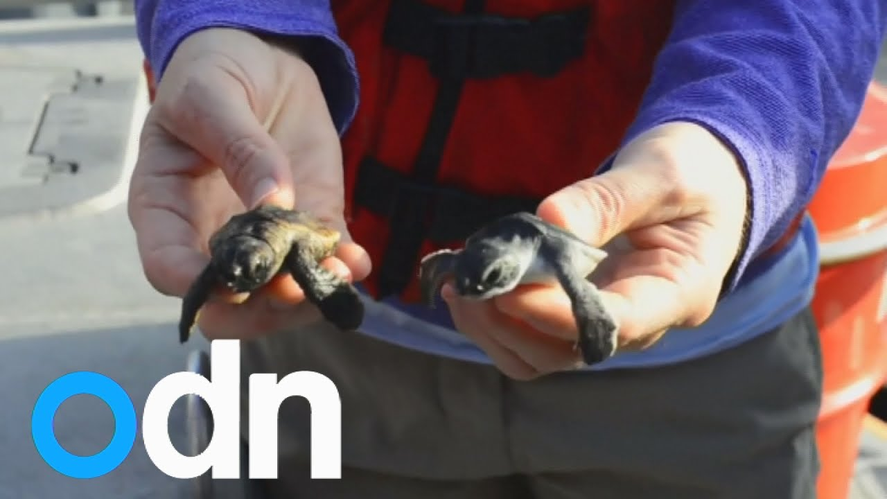 Baby Sea Turtles Released Back Into The Water In Florida