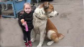 Не БОЙТЕСЬ АЛАБАЯ Акбара. Do not be afraid to Central Asian Shepherd. Одесса.