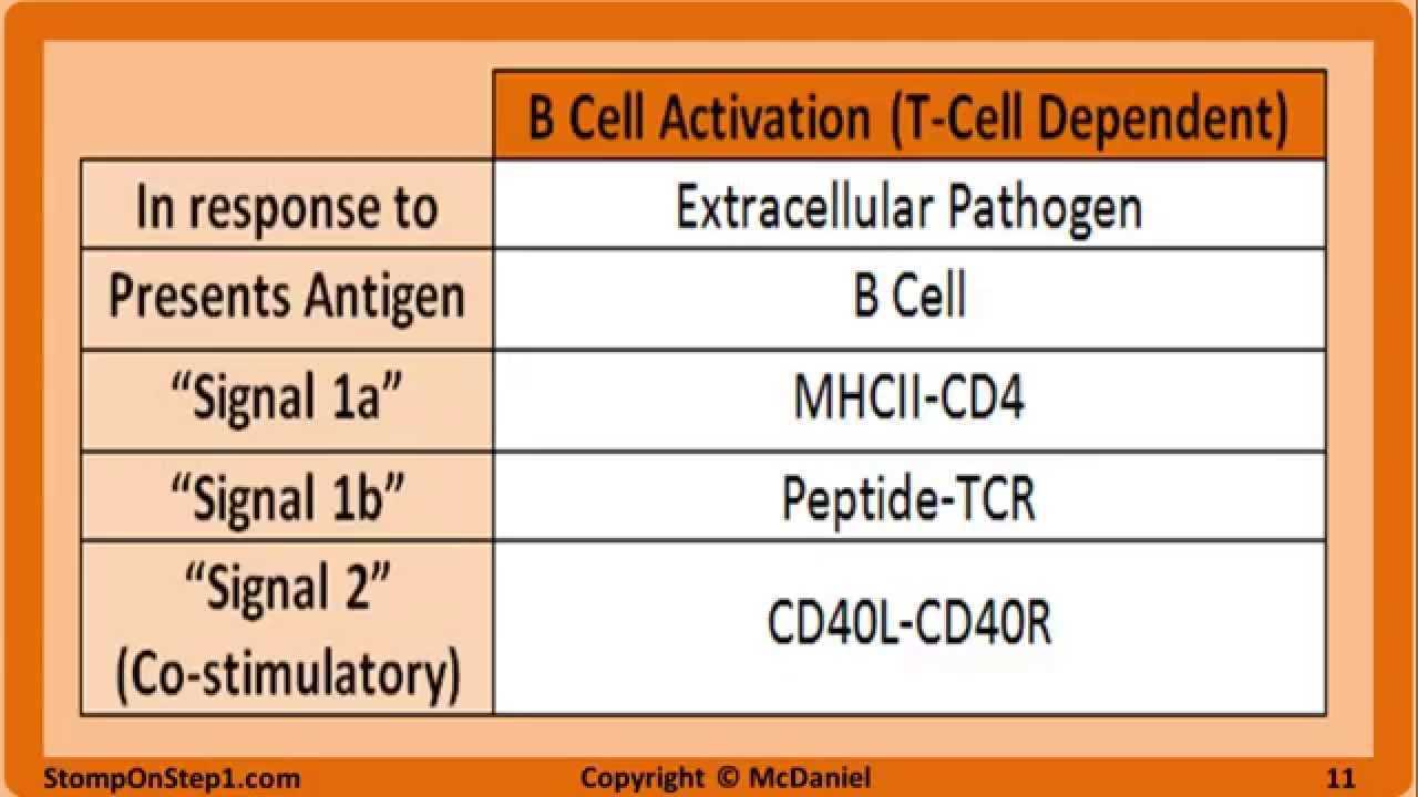 activation proliferation and differentiation of t cells and b cells