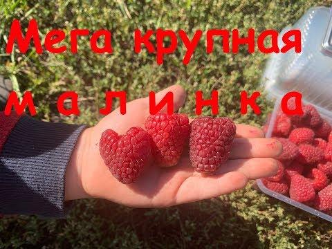Взвешиваем ягоду разных