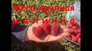 взвешиваем ягоду разных сортов малины