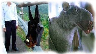 МИНУТКА ПРИРОДЫ Редкие и необычные виды летучих мышей