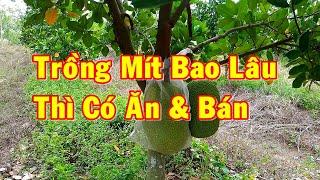 Trồng Mít Thái Bao Lâu Thì Có Bán | Tham Quan Vườn Mít Thái Nhà AHuy Vlogs & Chia Sẽ Kinh Nghiệm