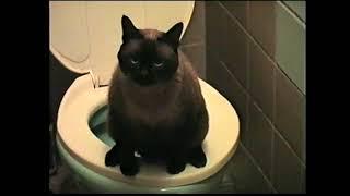 Сиамский кот ходит на унитаз
