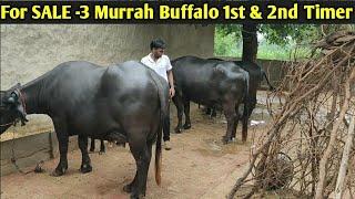 For SALE  3 Murrah Buffalo 1st Timer and 2nd Timer 1calf yuvraj bull