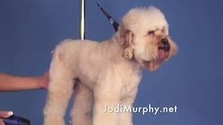 Learn How to Groom a Cockapoo with a Dandie Dinmont Expression