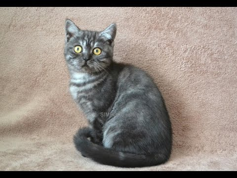 Шотландская кошечка окрас черный дым