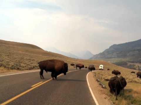 Bison kicks car