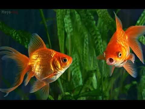 ¿Los peces de colores realmente tienen una memoria de 3 segundos?