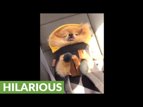 Pomeranian hilariously sleeps in adorable car seat