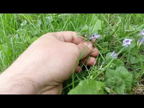 Ground Ivy Uses