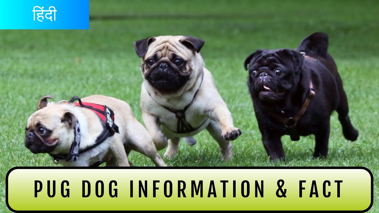 Pug Dog Information In Hindi By Pet Info Youtube