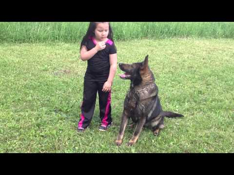 The little 6 years old trainer of German Shepherds