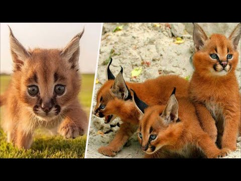 Top 10 World's Most Exotic Cats