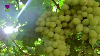 Producción de uva de mesa en Manuelita Frutas y Hortalizas