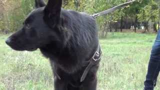 Pulling Harness With Extra Durable Straps For German Shepherd Dog