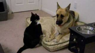 Crazy Cat Attacks Dog!