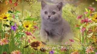 Британская кошечка играет, лиловый котенок, питомник House Arletta British
