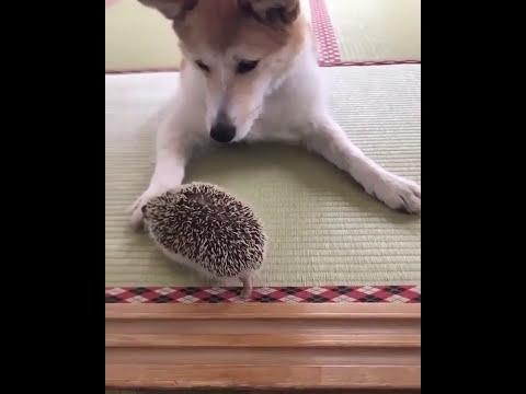 Hedgehog with dog