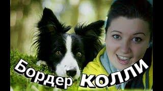 Порода БОРДЕР КОЛЛИ, дрессировка щенка. Мокрый нос