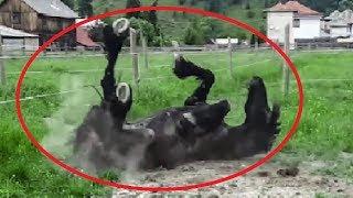 Impresionant ce face acest cal frizian