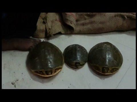 Image result for कछुओं की तस्करी करने वाला रैकेट पकड़ाया
