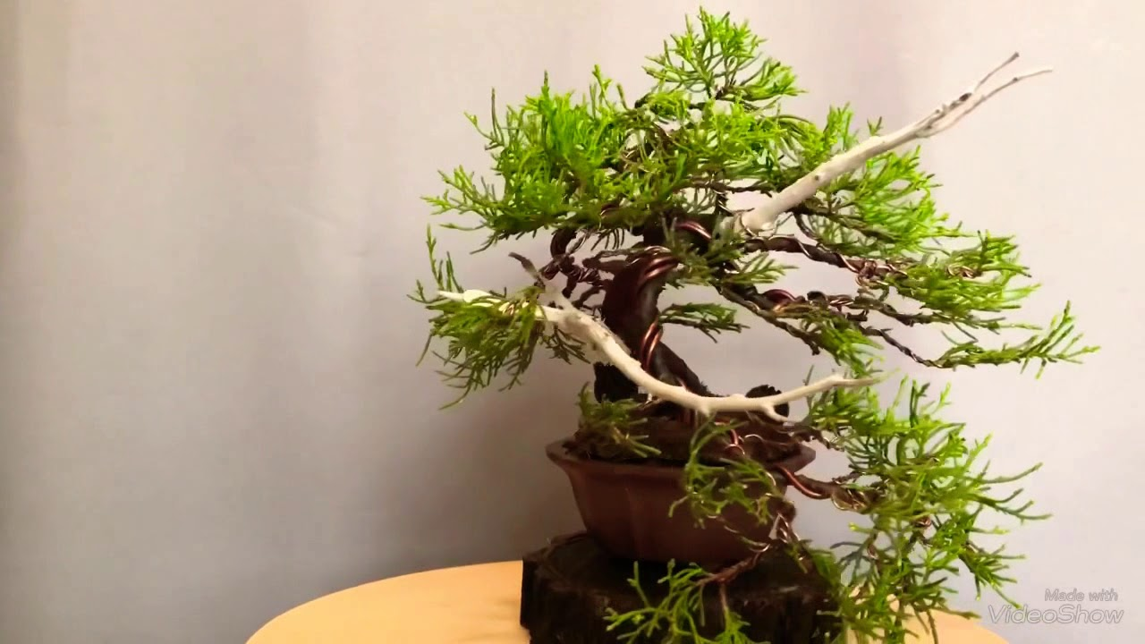 Juniper Old Gold Bonsai 2018 Aug Youtube