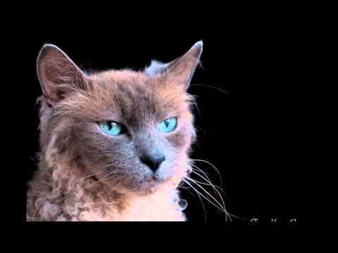 Ла-перм (Laperm cat) породы кошек( Slide show)!
