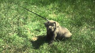 Training a 10 week old Cane Corso Puppy