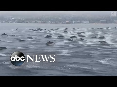 Huge pod of dolphins spotted off California coast