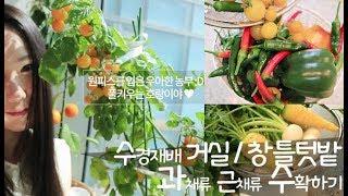 실내 베란다텃밭 수경재배 수확하기♥ 당근 방울토마토 고…