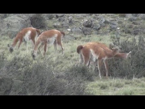 Wildlife of Patagonia