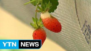 여름딸기 재배로 농가소득 증대 / YTN (Yes! T…