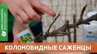 Саженцы колоновидных деревьев | яблоня, груша, абрикос, вишня, персик, слива, черешня|Agro-Market.ua