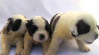 ホワイト&ブラウンのセントバーナード子犬兄妹!!<子犬の利根RS>