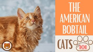 Cats 101  AMERICAN BOBTAIL  Top Cat Facts about the AMERICAN BOBTAIL