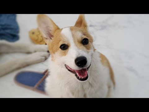 Ujoo, Welsh Corgi, Takes a Bath After Stepping on her Poop | Dog Bath from YouTube · Duration:  4 minutes 59 seconds