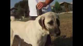 ORIGINAL OLD TYPE KANGAL DOG