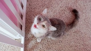 cute-kitten-thinks-it-s-a-dog-cat-to-dog-surprise-introduction