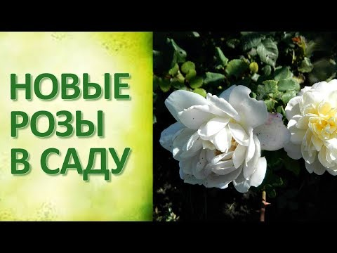 Розы в саду Сорта роз 2018