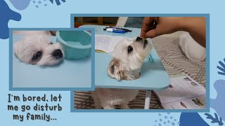What our Shih Tzu does when it&#39s bored  Cute &amp Funny dog videos