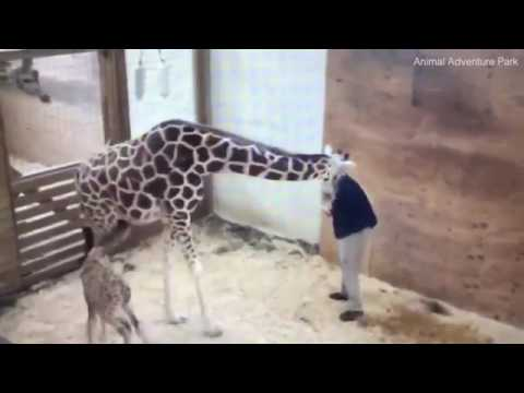 Moment April the giraffe KICKS vet to protect her calf
