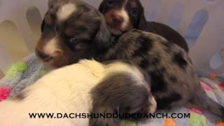 Mini Dachshund Puppies - Dachshund Dude Ranch!